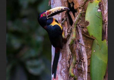 Chestnut-collared Aracari