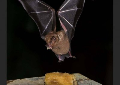 Great fruit eating Bat