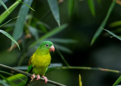 Olive Throated Parakeet